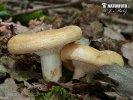 ryzec pásovaný (Lactarius zonarius)