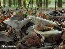 ryzec zelený (Lactarius blennius)
