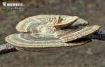 síťkovec načervenalý (Daedaleopsis confragosa)