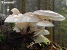 slizečka porcelánová (Oudemansiella mucida)