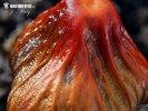 slzečník papouščí - Znaky hub (Bolbitius psittacinus)
