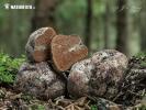 smržovec Otthův (Gautieria otthii)