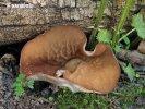 terčovnice síťnatá (Disciotis venosa)