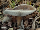 tmavobělka rýhonohá (Melanoleuca grammopodia)