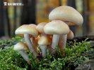 třepenitka maková (Hypholoma capnoides)