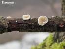 trepkovitka Cesatiho (Crepidotus cesatii var. cesatii)