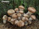 václavka smrková (Armillaria solidipes)