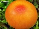 voskovka hořká - Znaky hub (Hygrocybe mucronella)