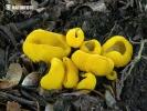 žlutočíška zvrásnělá (Flavoscypha phlebophora)