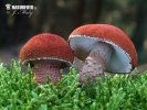 zrnivka rumělková (Cystodermella cinnabarina)