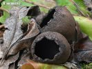 zvoneček pohárkovitý (Urnula craterium)
