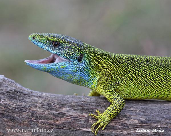 Výsledek obrázku pro ještěrka zelená