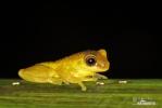 (Dendropsochus carnifex)