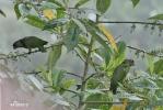Amazónek červenozobý (Pionus sordidus)