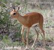Antilopa srnčia (Raphicerus campestris)