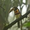 Arassari pestrý (Pteroglossus erythropygius)