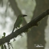 Arassari rudokostřecový (Aulacorhynchus haematopygus)