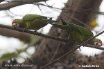 Aratinga oranžovočelý (Aratinga canicularis)