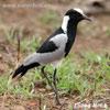 Čejka běločelá (Vanellus armatus)