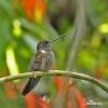 Inka hnědý (Coeligena wilsoni)