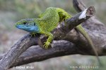 Jašterica zelená (Lacerta viridis)