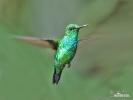 Kolibřík (Chlorostilbon melanorhynchus)