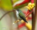 Kolibřík andský (Amazilia franciae)