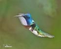 Kolibřík bělokrký (Florisuga mellivora)