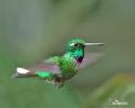 Kolibřík Benjaminův (Urosticle benjamini)