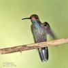 Kolibřík Bouguerův (Urochroa bougueri)