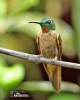 Kolibřík hnědobřichý (Heliodoxa rubinoides)
