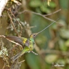 Kolibřík mečozobec (Sword-billed Hummingbird)