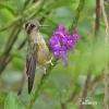 Kolibřík mozaikový (Adelomyia melanogenys)