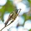 Kolibřík quitský (Haplophaedia lugens)