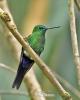 Kolibřík safírořitý (Eriocnemis luciani)