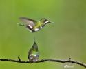 Kolibřík trnoocasý (Discosura conversii)