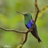 Kolibřík zelenotemenný (Thalurania fannyae)