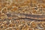 Křovinář Neuwidův Mattogrosský (Bothrops neuwiedi mattogrossensis)
