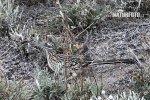 Kukačka kohoutí (Geococcyx californianus)