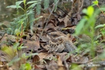Lelek šedočelý (Nyctidromus albicollis)