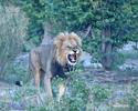 Lev púšťový (Panthera leo)