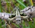 Lišaj pupalkový (Proserpinus proserpina)
