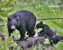Medvěd baribal (Ursus americanus)