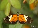 Motýl (Heliconius ismenius)