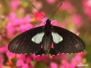Motýl (Parides arcas)