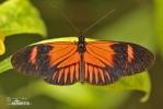 Motýl (Heliconius melphomene)
