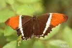 Motýl (Siproeta epaphus)