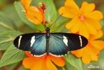 Motýl (Heliconius sara)
