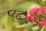 Motýl (Metona grandiosa)