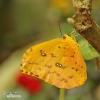 Motýl (Phoebis philea)